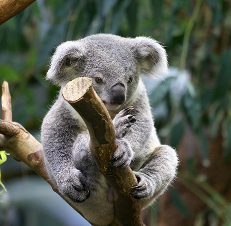 Koala hanging on a branch